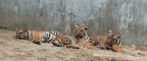 আজ থেকেই বেঙ্গল সাফারি পার্কে দেখা মিলবে তিন খুদে রয়্যাল বেঙ্গলের,জানাল সাফারি পার্ক কর্তৃপক্ষ 3